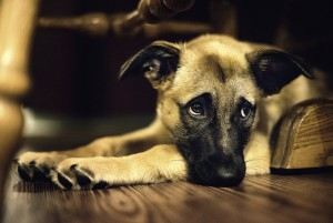 A dog laying on a hard wood floor with sad eyes to symbolize animal cruelty.